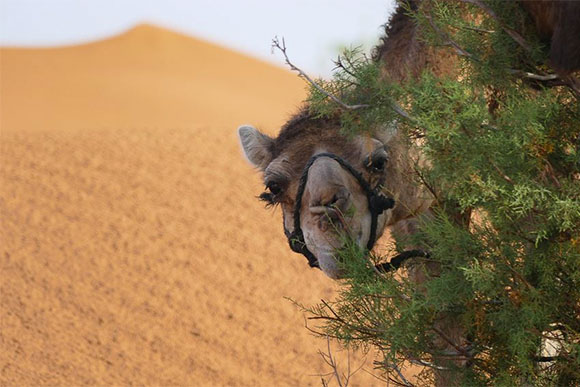 Desert camels: one hump or two?